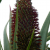An Aloe Climax – The Huntington in Bloom