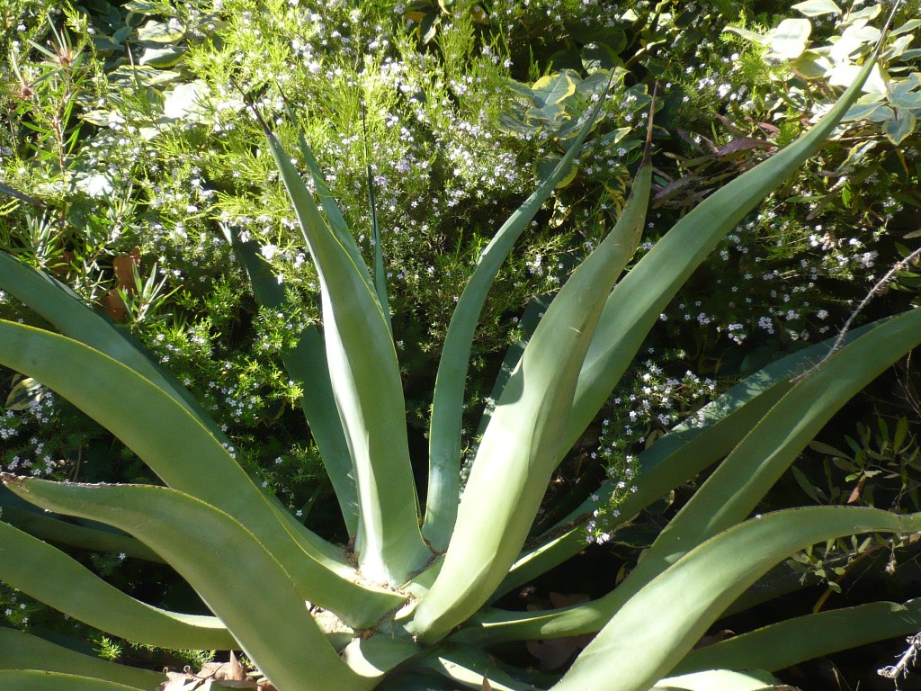 agave vilmoriniana - one of my favorites