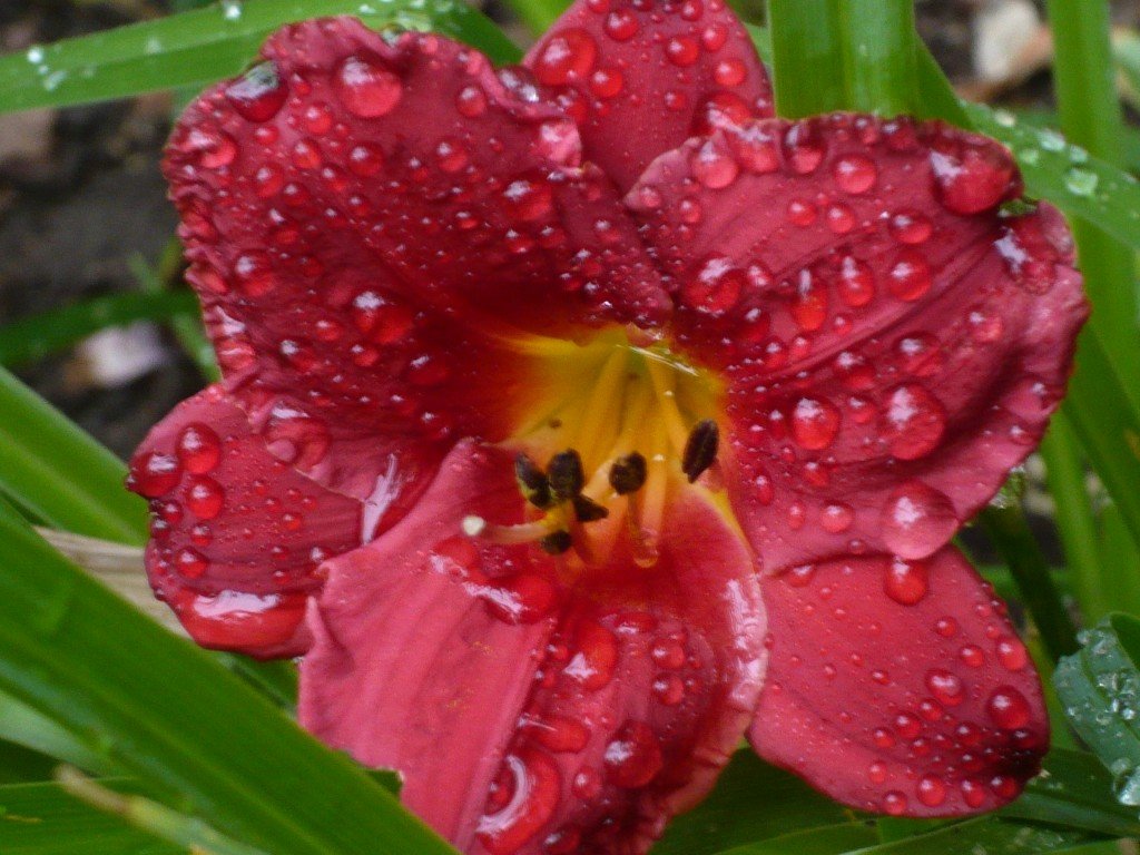 another red daylily with a hint of - watermelon?