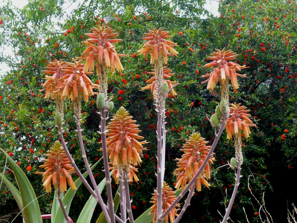 the latest aloe to bloom, with a backdrop of pomegranate flowers