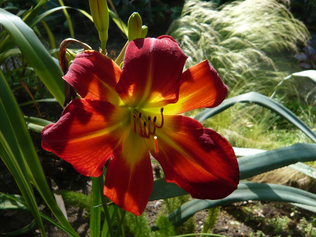 me plus hemerocallis 'apple tart' equals luv