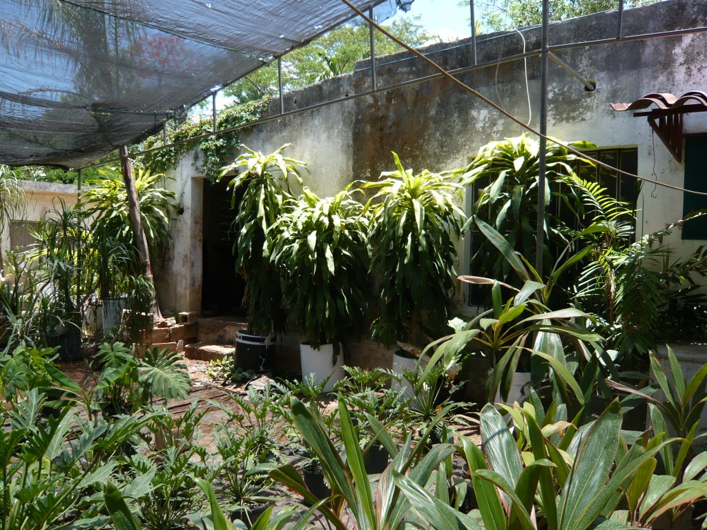 dracenas stand guard against an nursery wall