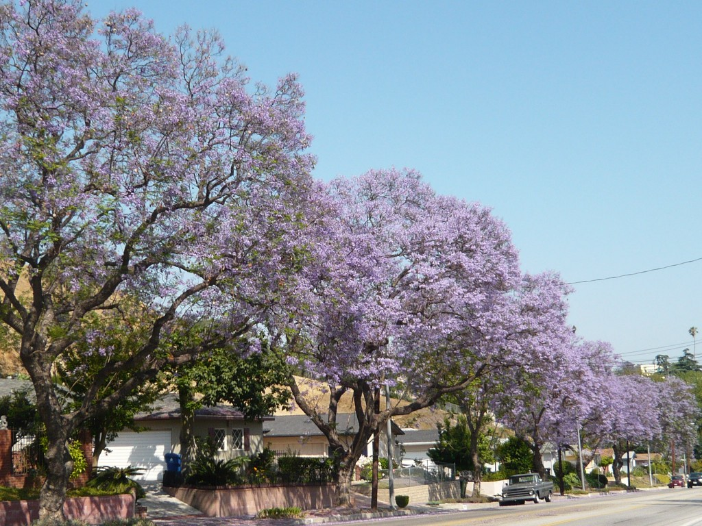jacaranda lining the streets of east los angeles