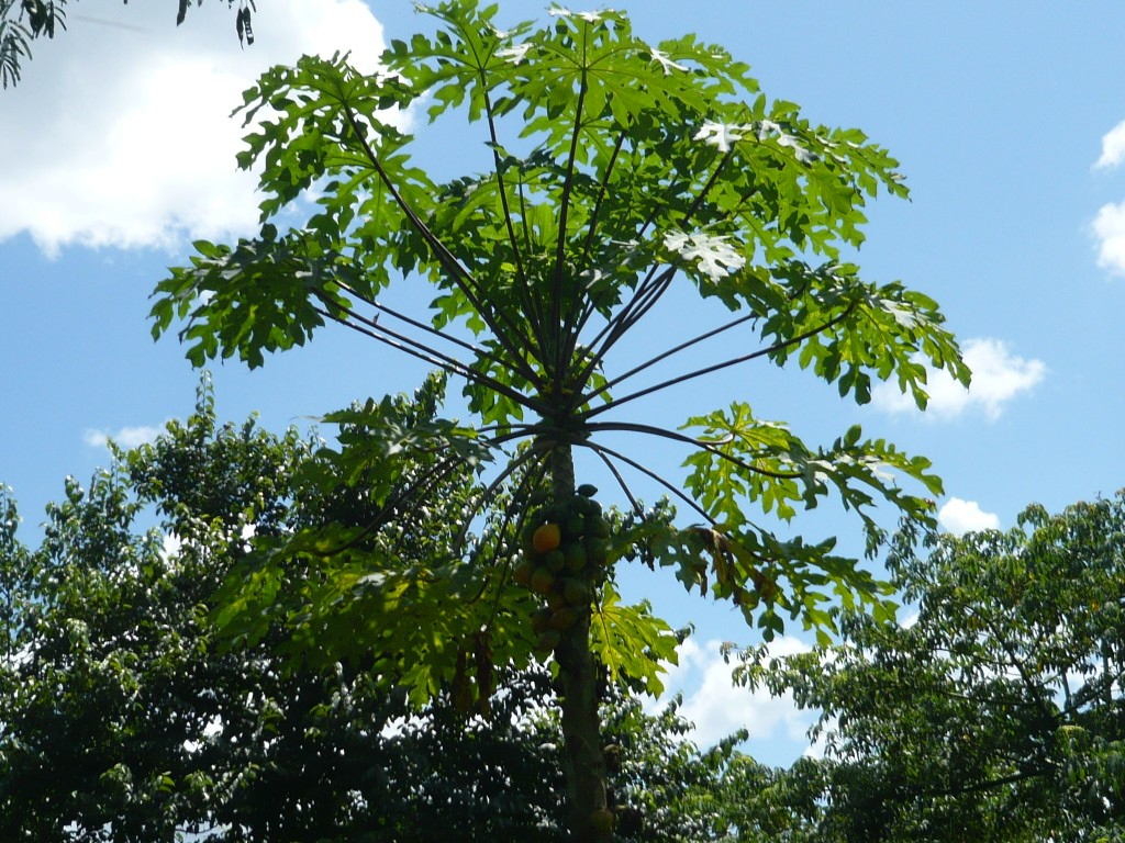 I absolutely adore papaya trees - very Dr. Seuss-ish
