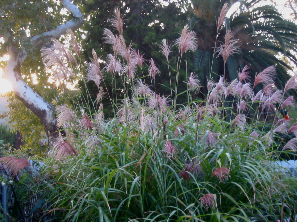 my miscanthus floridulus - is your heart still beating?