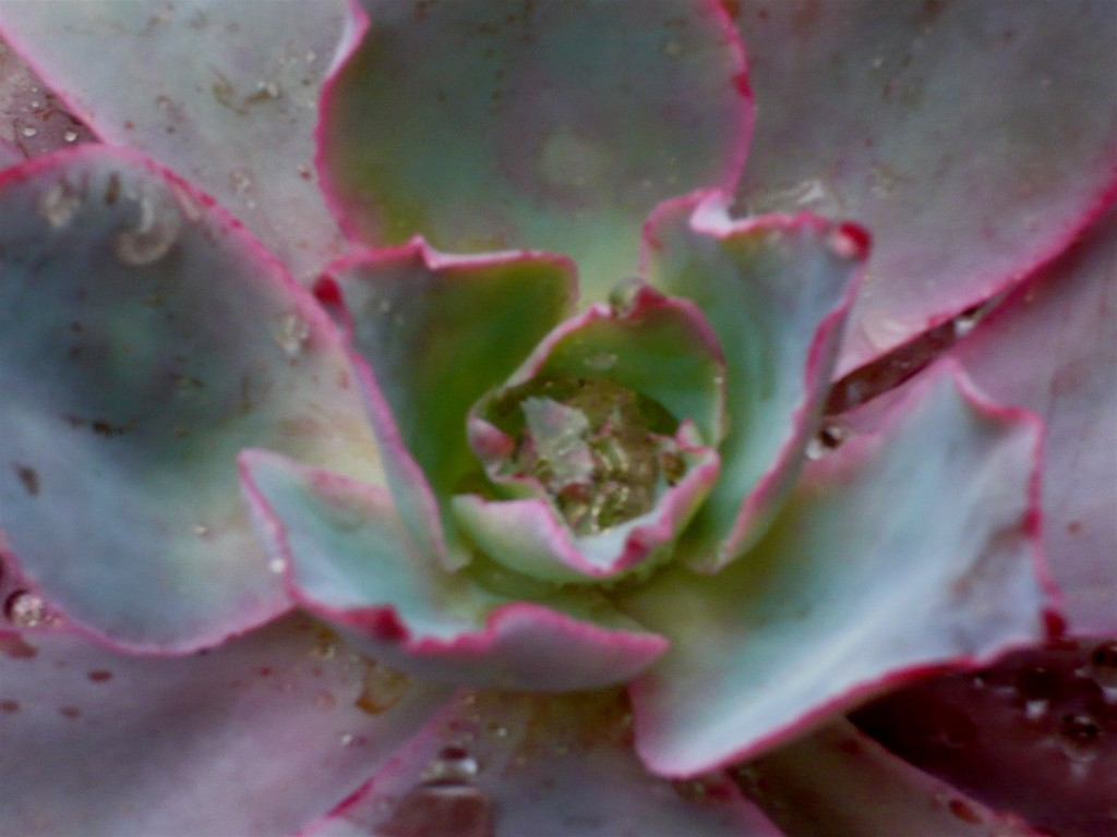 succulents in the rain! all pink and glisten-y!
