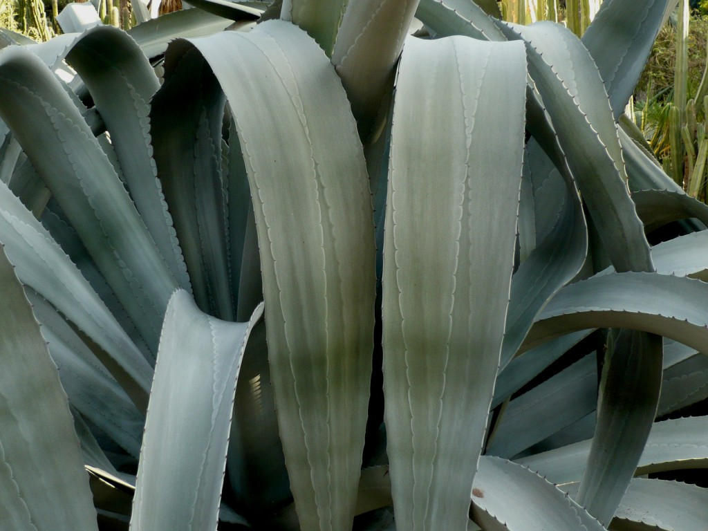 this agave franzosinii is pretending to be a praying mantis. that, or it has bucked teeth.