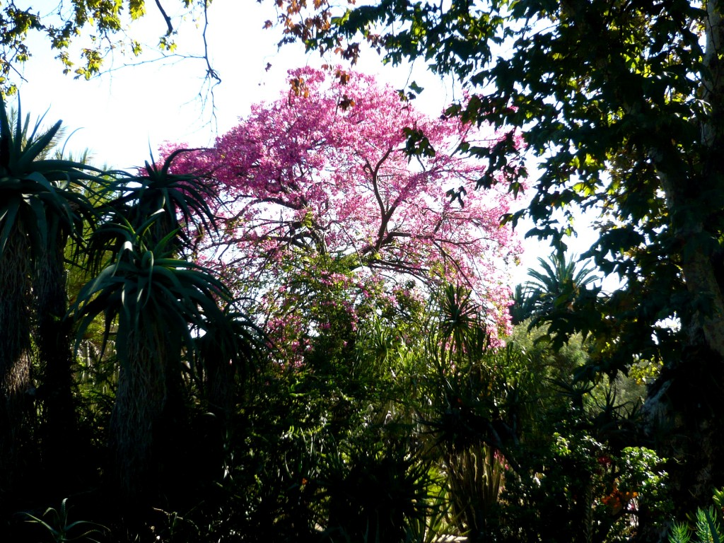 the rosey flowers of the Ceiba rise like butterflies from the prehistoric landscape