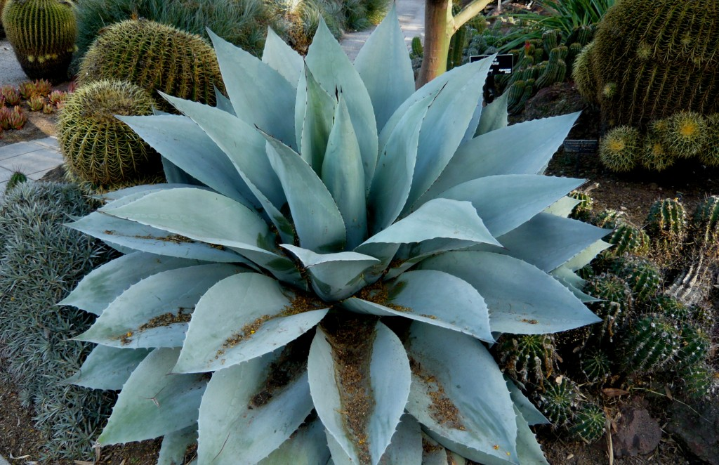 does this look like a whale's tongue to you? it is ... the agave version.
