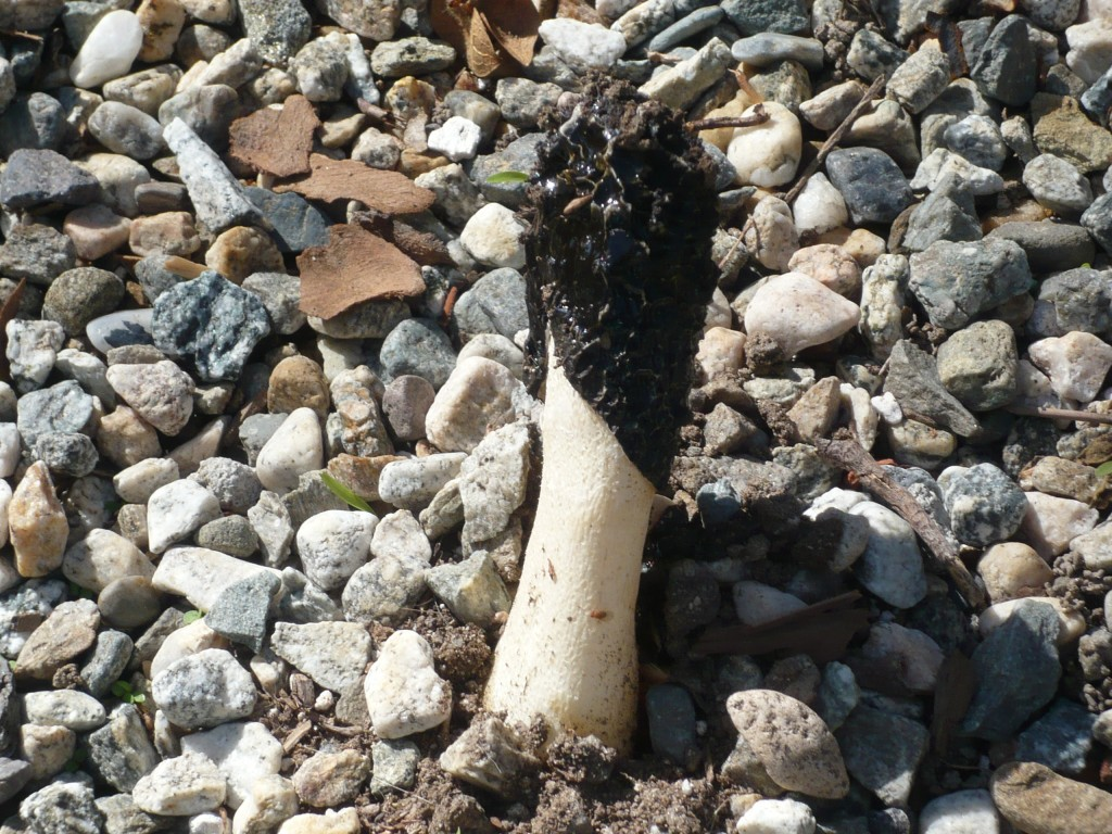 the stinkhorn raises its smelly, ugly head again!