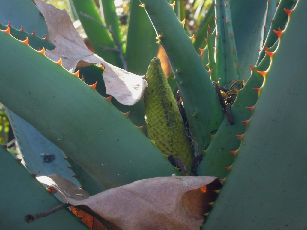 awww... shy little aloe bud! come out and play!
