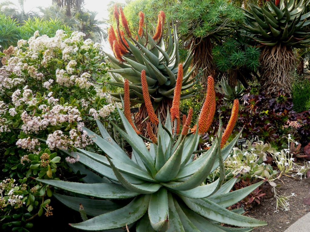 is it just me, or is Aloe ferox really really HOT?
