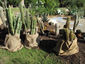 """burlap """"jackets"""" - a clever disguise. nobody would EVER guess there were black nursery pots under there... oops - ran out of burlap!"""