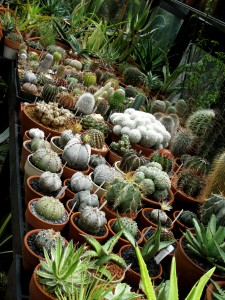 as if I wasn't already beside myself, this gorgeous line-up of tender cacti and aloe seedlings just blew me away. I could live in Jeff's greenhouse - but I'd have to improve my housekeeping skills