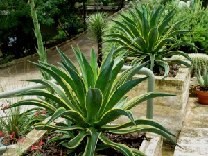 check out these beauties, all dolled up for sentinel duty! I love it when agaves are used to flank an entry - SEXY!
