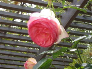 the first plant I ever bought - an 'Eden' rose to add to the now defunct rose garden