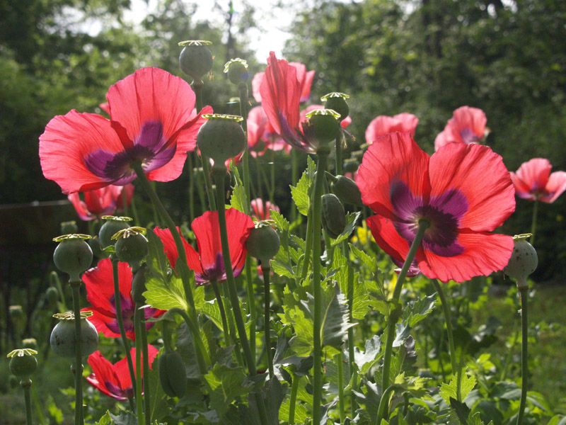 The germinatrix blog archive the poppy and the poseur mmmm poppies mightylinksfo