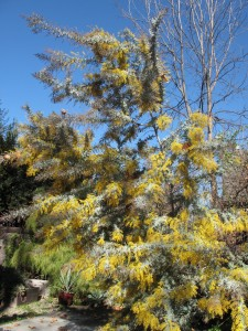 beautiful acacia standing tall, with pride